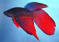 Image of Betta splendens (Siamese fighting fish)