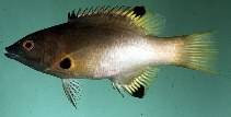 Image of Bodianus axillaris (Axilspot hogfish)