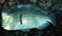 Image of Bolbometopon muricatum (Green humphead parrotfish)
