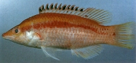 Image of Bodianus thoracotaeniatus