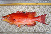 Image of Bodianus unimaculatus (Red pigfish)