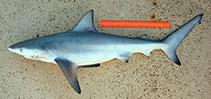 Image of Carcharhinus amboinensis (Pigeye shark)