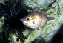 Image of Capros aper (Boarfish)