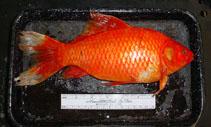 Image of Carassius auratus (Goldfish)