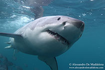 Image of Carcharodon carcharias (Great white shark)