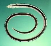 Image of Callechelys catostoma (Black-striped snake eel)