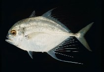Image of Carangoides hedlandensis (Bumpnose trevally)