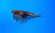 Image of Carnegiella marthae (Blackwing hatchetfish)