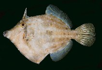 Image of Cantherhines rapanui (Rapanui filefish)