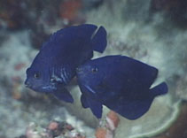 Image of Centropyge deborae (Blue Velvet Angelfish)