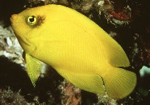 Image of Centropyge heraldi (Yellow angelfish)
