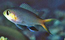 Image of Chromis acares (Midget chromis)