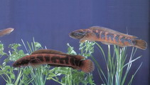 Image of Channa asiatica (Small snakehead)