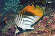 Image of Chaetodon auriga (Threadfin butterflyfish)