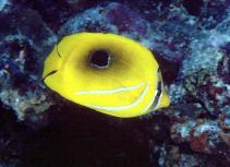 Image of Chaetodon bennetti (Bluelashed butterflyfish)