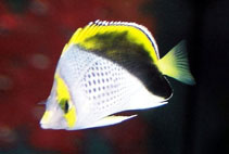 Image of Chaetodon declivis (Marquesas butterflyfish)