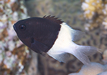 Image of Chromis dimidiata (Chocolatedip chromis)