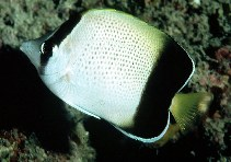 Image of Chaetodon dolosus (African butterflyfish)
