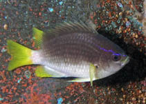 Image of Chromis enchrysura (Yellowtail reeffish)