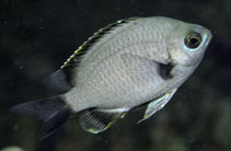 Image of Chromis flavapicis