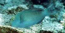 Image of Chlorurus frontalis (Pacific slopehead parrotfish)