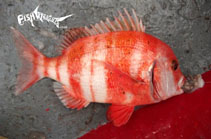 Image of Chrysoblephus gibbiceps (Red stumpnose seabream)