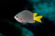 Image of Chromis jubauna