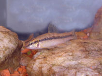 Image of Characidium lanei