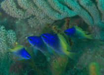 Image of Chromis limbaughi (Limbaugh\