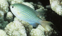 Image of Chromis lineata (Lined chromis)