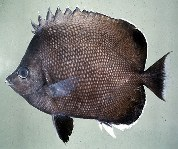 Image of Chaetodon litus (Easter Island butterflyfish)