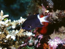 Image of Chromis margaritifer (Bicolor chromis)