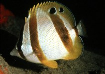 Image of Chaetodon marleyi (Doublesash butterflyfish)