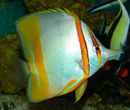 Image of Chelmon marginalis (Margined coralfish)