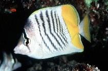 Image of Chaetodon mertensii (Atoll butterflyfish)