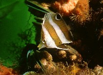 Image of Roa modesta (Brown-banded butterflyfish)