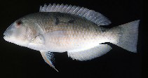 Image of Choerodon oligacanthus (White-patch tuskfish)