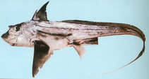 Image of Chimaera phantasma (Silver chimaera)