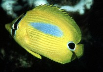 Image of Chaetodon plebeius (Blueblotch butterflyfish)