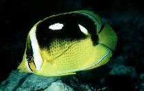 Image of Chaetodon quadrimaculatus (Fourspot butterflyfish)