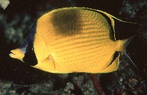 Image of Chaetodon semeion (Dotted butterflyfish)