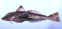 Image of Chelidonichthys spinosus (Spiny red gurnard)