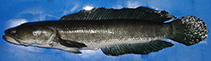 Image of Channa striata (Striped snakehead)