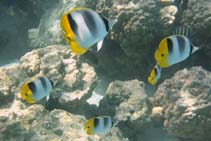 Image of Chaetodon ulietensis (Pacific double-saddle butterflyfish)