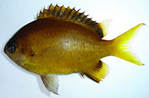 Image of Chromis xouthos (Yellow-brown chromis)