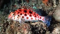 Image of Cirrhitichthys oxycephalus (Coral hawkfish)
