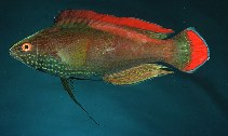 Image of Cirrhilabrus rubrimarginatus (Red-margined wrasse)