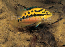 Image of Cichlasoma salvini (Yellow belly cichlid)