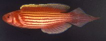 Image of Conniella apterygia (Mutant wrasse)