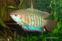 Image of Trichogaster fasciata (Banded gourami)
